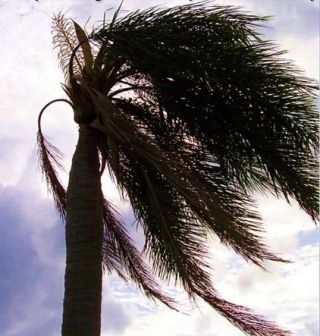 santa ana wind palm tree
