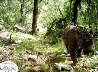 El Jefe, the only known jaguar in the United States, has been in southern Arizona for at least three years.
