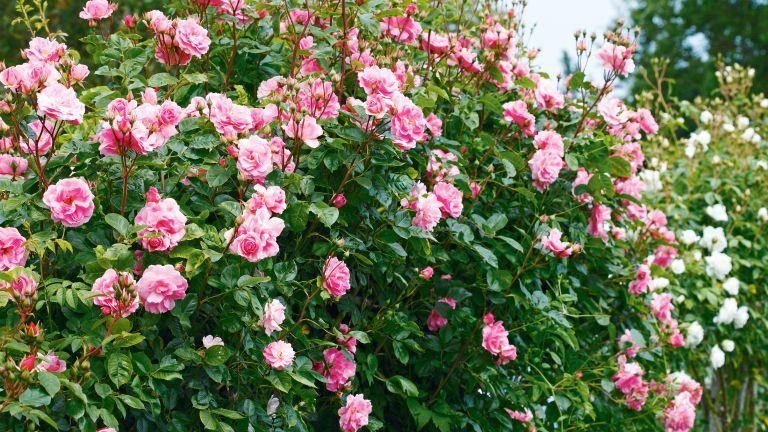 rose shrub in garden