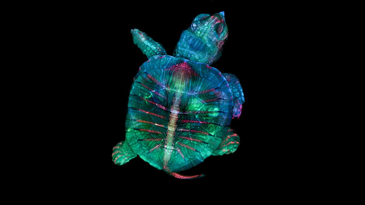 Fluorescent, Rainbow-Colored Turtle Embryo Earns Microscope Photo Contest's Top Prize