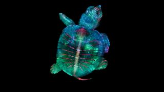 First place went to this colorful, fluorescent image of a tiny turtle embryo.