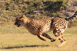 captive cheetah running in South Africa