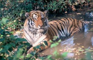 tigers, amur tigers, kazakhstan, caspian tigers, russia, wwf, tiger conservation, endangered species