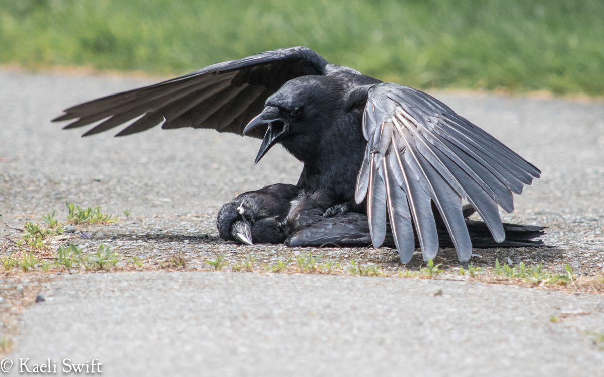 Why Do Crows Copulate with Corpses?