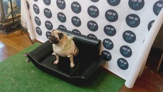 What is a Pop-up Pug Cafe, and what happened when we visited one?