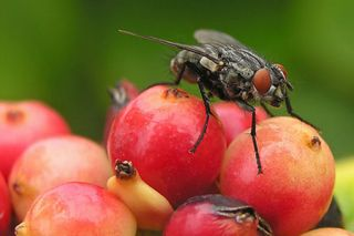 fruit fly on fruit