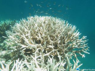 A bleached coral stands starkly in Australia's Mission Beach Reefs, part of the Great Barrier Reef system.