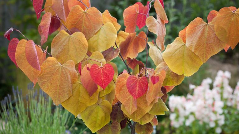 Cercis canadensis Plant 'Eternal Flame'®