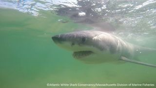 rescued great white shark, near the rescue boat