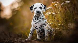 Dalmatian puppy sitting in golden field looking at camera