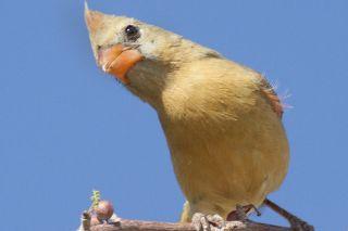A yellow Northern cardinal.