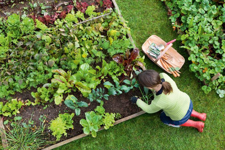 raised beds: woman gardening