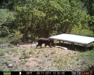 Black bear near water tank