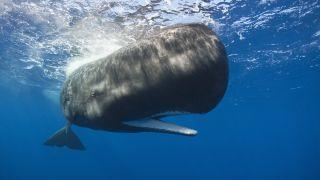 sperm whale in the ocean