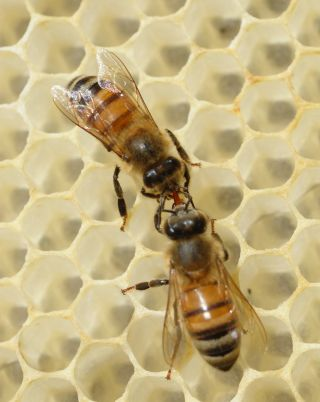 Two honeybees meet on honeycomb.