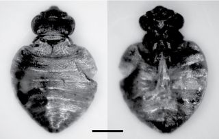 Three of the specimens from the Oregon cave belonged to <em>Cimex latipennis</em>.