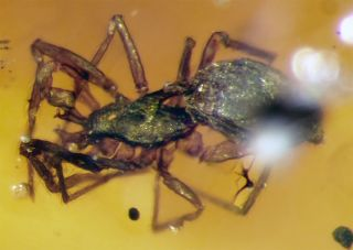 Amber spider
