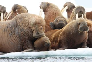 Pacific walrus on ice floe