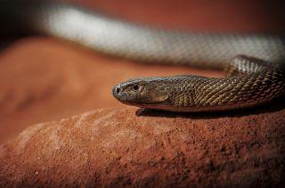 inland taipan snake
