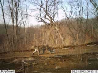 A camera trap image of a rare and endangered Amur leopard in China's Hunchun Amur Tiger National Nature Reserve.