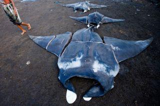 Butchered manta rays