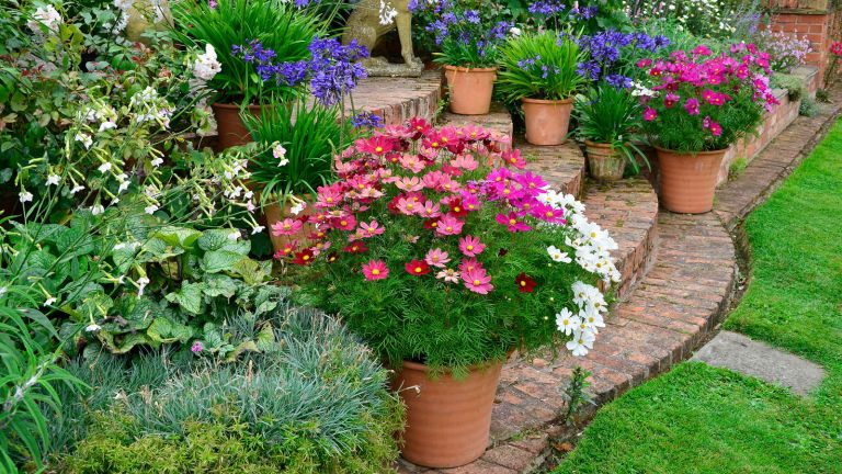 containers in a garden with cosmos and bright blooms