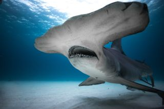 A hammerhead shark in a promo image for Discovery's Shark Week