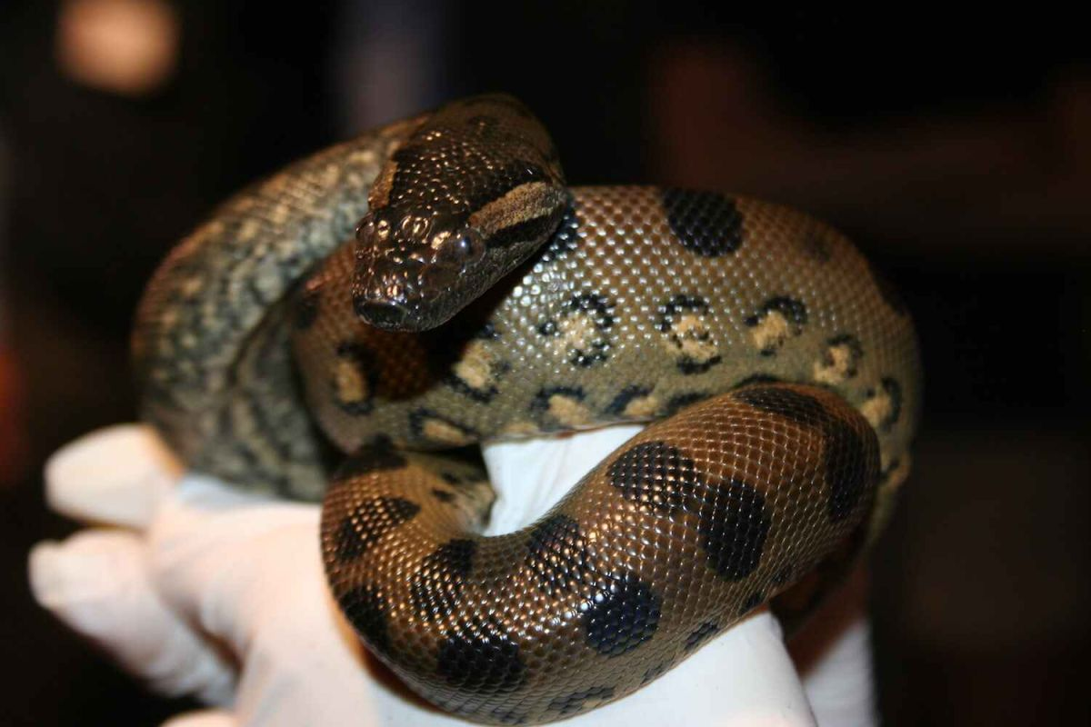 Anaconda Mom Gives Birth To Baby Clones No Male Required Live Science