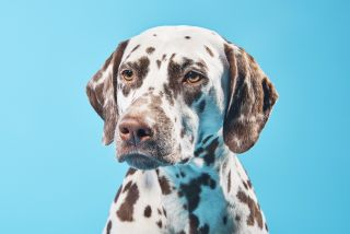 Brown dalmatian dog.