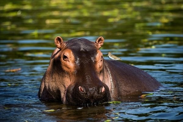 how old do hippos live
