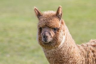 Facts About Alpacas | Live Science