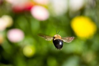 Bees learn the locations of flowers, and optimize their routes between them. Credit: Dreamstime