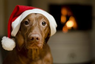 brown female Hungarian Vizsla dog dressed in a santa hat.