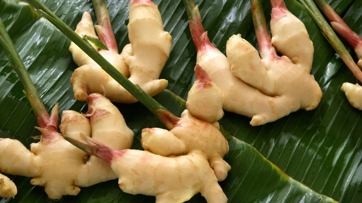 Growing ginger in a pot? Follow these expert tips to maximize your yield