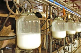 Cow's milk being pumped at a farm.