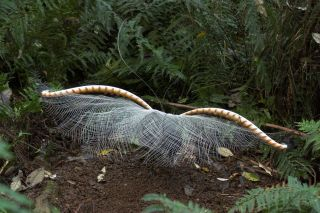 Dancing lyrebird