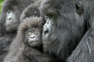 A female gorilla and a 4-month-old baby named Kabila (after the president of the Democratic Republic of the Congo).