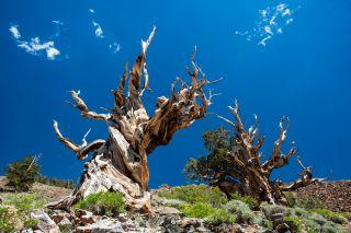 oldest-tree