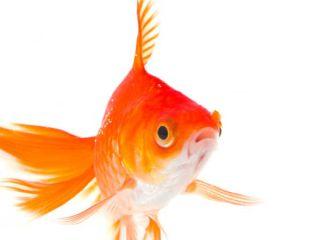 goldfish-100909-02