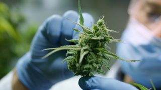 Man in latex gloves and a surgical mask holds up a cannabis plant in a nursery