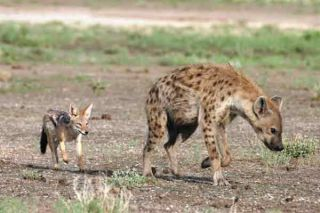 jackal-hyena-prey-101124-02