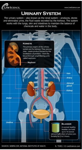 Infographic: How the human body's urinary system works.
