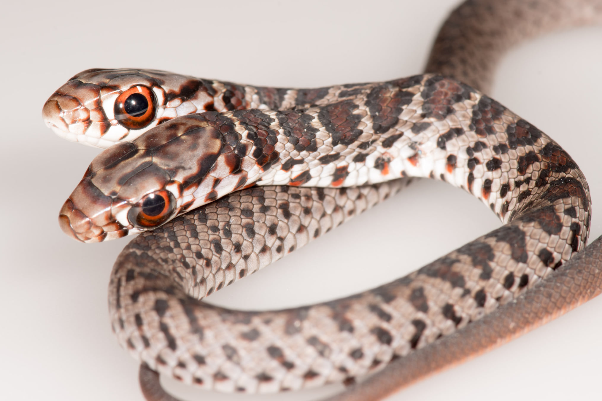Rare, 2-headed snake discovered by Florida house cat | Live Science