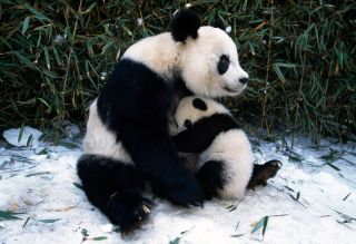 A giant panda and cub