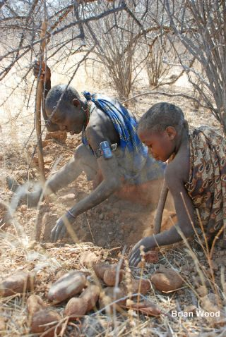 Members of the Hadza culture of Tanzania dig for tubers. One woman wears a monitor that measures her heart rate and her movement with GPS.