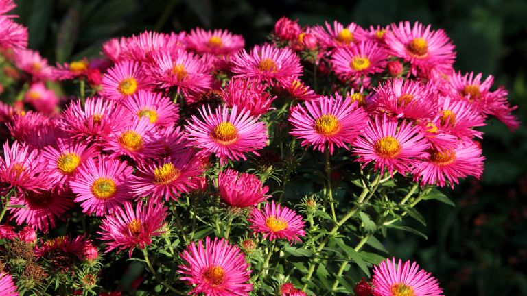 how to grow asters showing a blooming autumn aster