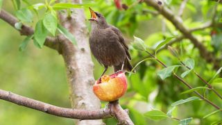 What to feed birds from the kitchen: Bird in a tree perched on half an apple