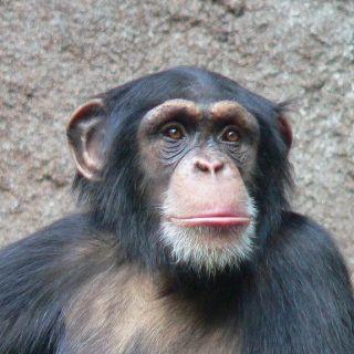 chimpanzee research guidelines, biomedical, genomic, behavior