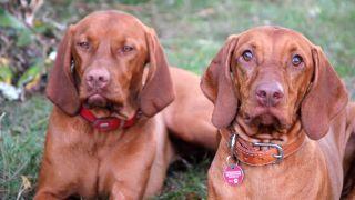 Two Vizsla dogs sat on the grass
