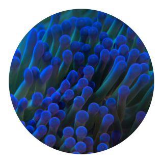 coral, rekindling venus